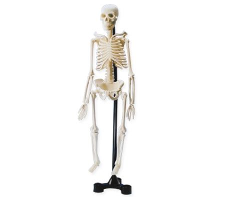 Mini Skeleton Model Kit With Stand - 46cm